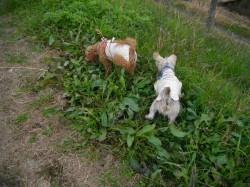 ベッカムと一緒に草の匂いをかぐトイプー