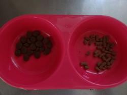 トイプーのオリジンとダイエットフードのどちらが好きか実験