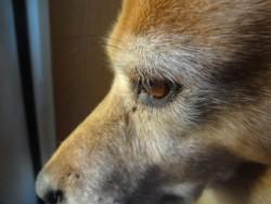 ミックス犬の目