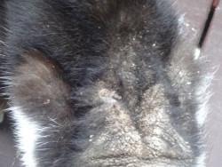 猫の背中にフケが出ている