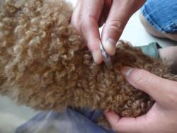 トイプーの首の後ろにミックス犬の首の後ろにストロングホールドを付ける